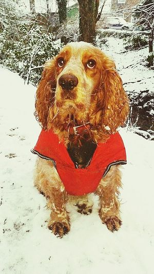 Pets Cold Temperature One Animal Retriever No People Day Nature Outdoors Animal Themes Mammal Domestic Animals Winter Dachshund Snow Dog Eyeemvision EyeEm Best Shots Eyeem Photography Cockerspaniel