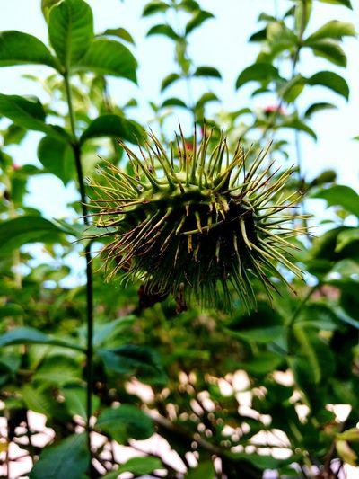 Seedpod Seedart Spikes On Seed Weirdnature Nature_collection Nature Is Art Nature Textures