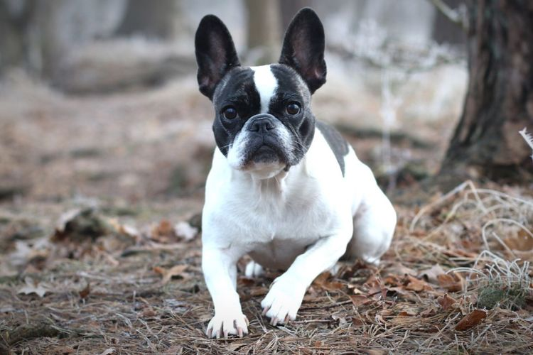 Portrait of boston terrier sitting on field