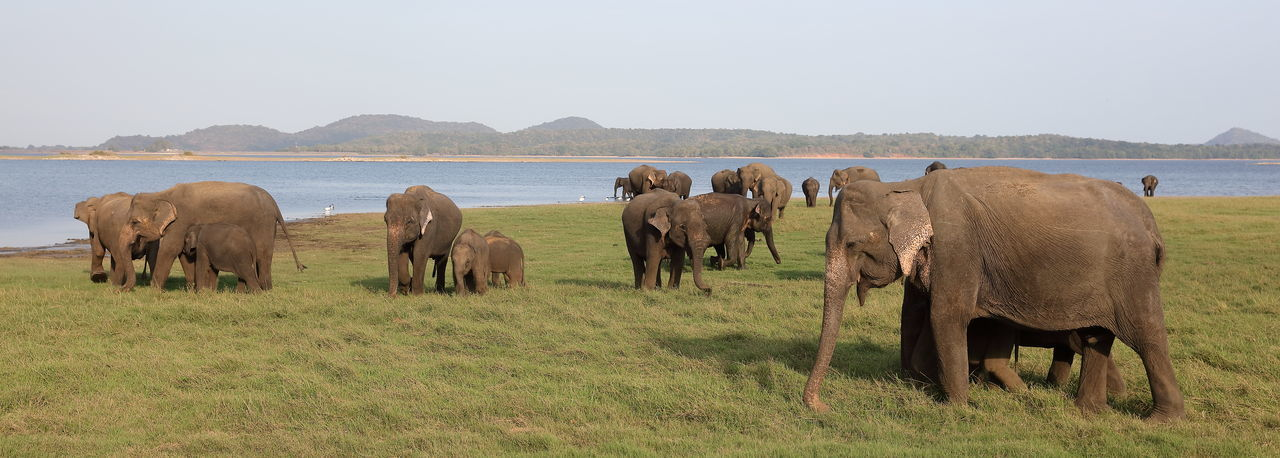 ASIA Asiatic Elephants Panoramic View Sri Lanka Animal Themes Animal Trunk Animal Wildlife Animals In The Wild Beauty In Nature Elephant Elephant Calf Elephant Herd Landscape Large Group Of Animals Mammal Minneriya Minneriya National Park Safari Animals Togetherness Tusk Water Wilderness Wildlife