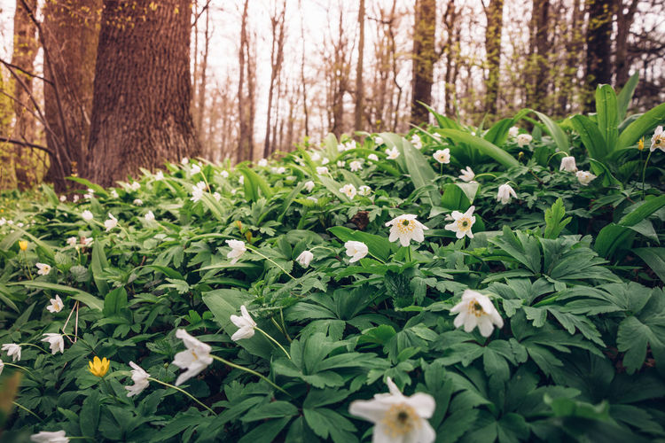 Close-up of fresh white flowering plants in forest
