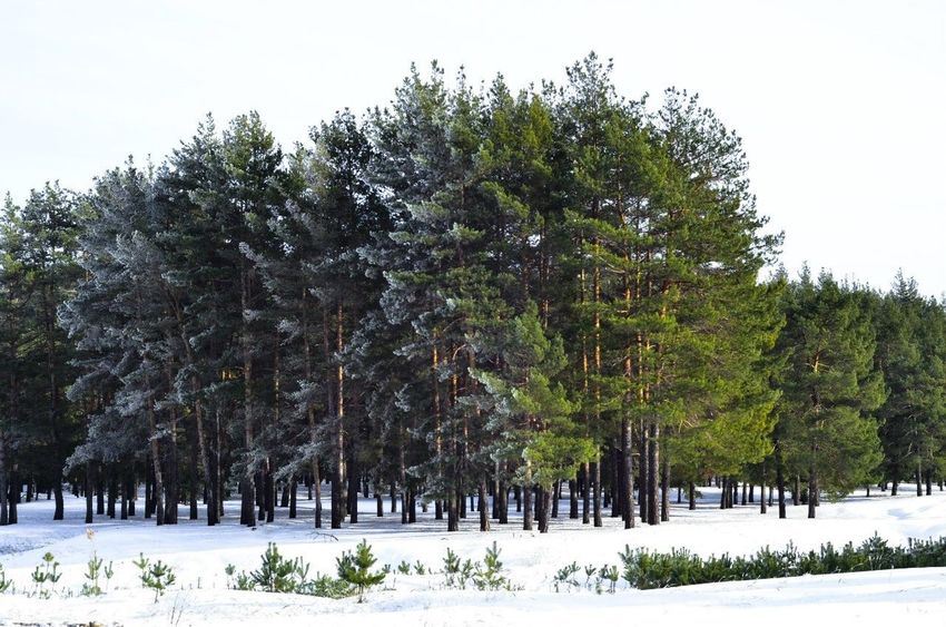 Borisoglebsk Russia Tree Forest Homeland
