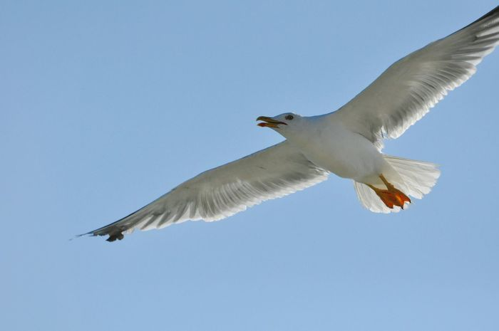Showcase: February Feeling free! Seagull Seagulls SEAGULL IN FLIGHT Seagulls Flying Over Me