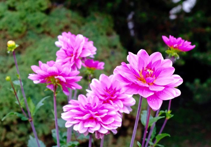 Flowering Plant Flower Freshness Fragility Vulnerability  Plant Petal Flower Head Pink Color Close-up Focus On Foreground Nature Beauty In Nature