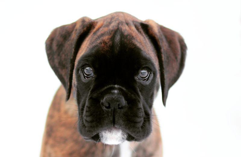 Boxer Puppy Pup