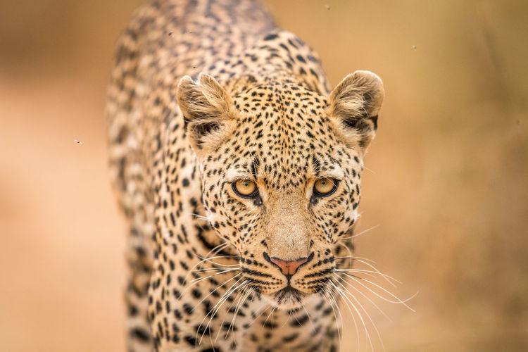 Close-up portrait of leopard
