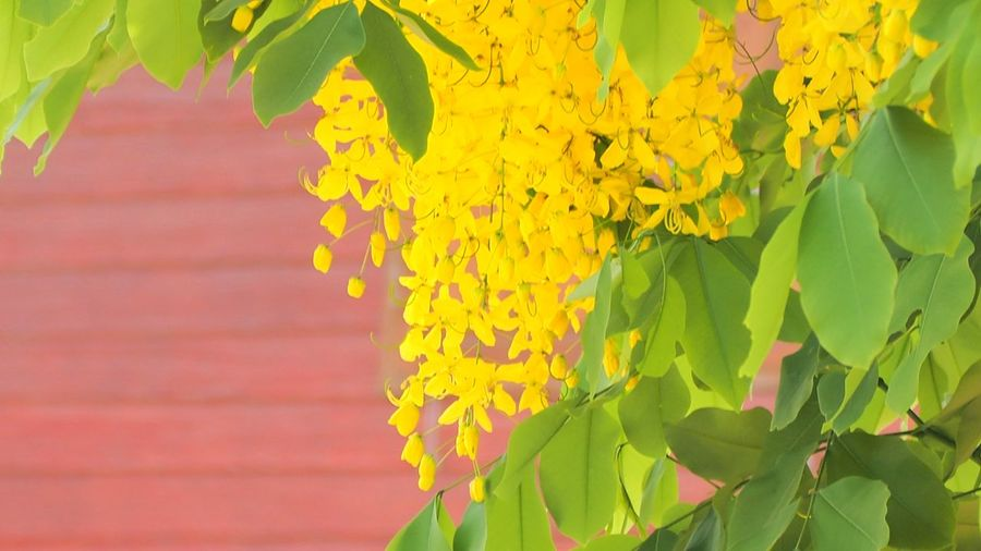 Flower Leaf Yellow Multi Colored Plant Part Close-up Plant Green Color Ivy Flowering Plant Overgrown Vine - Plant Creeper Growing Toadstool Winemaking Crocus Tendril Grape Stalk Wine Cask Wine Cellar Vintner Tropical Flower Young Plant Lavender Colored Chachoengsao Cellar Red Grape Fungus