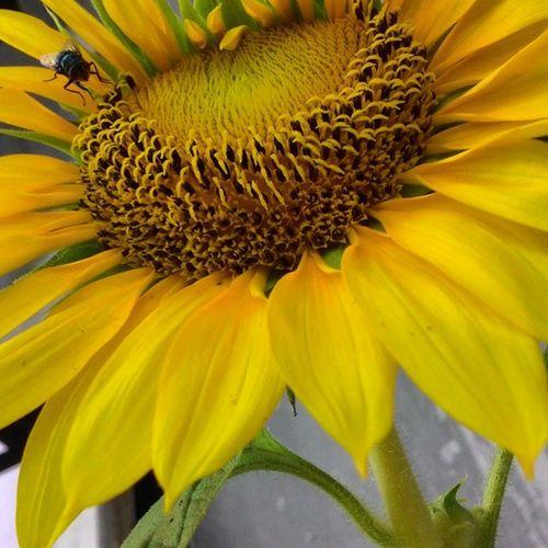 Yellowrose 9vaga_yellowrose9