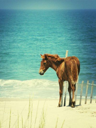 Foal Horse Beach OBX