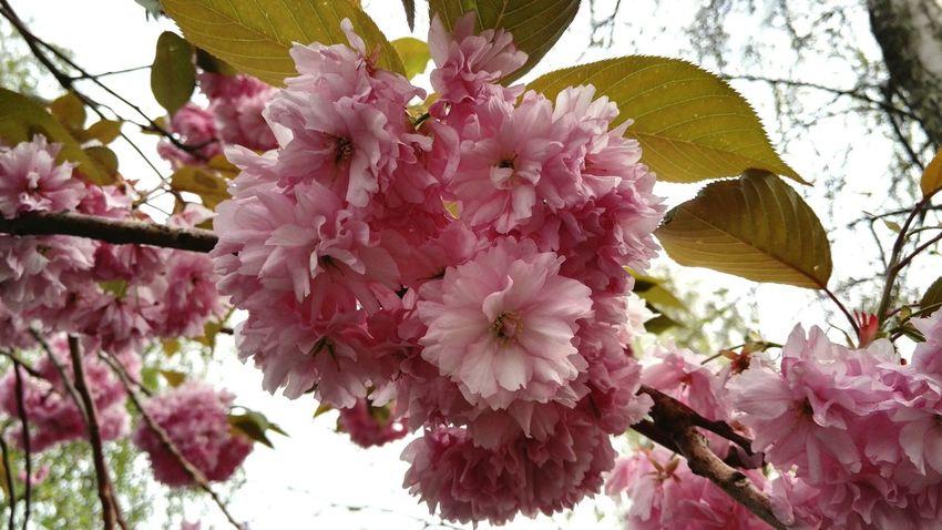 Flowers Spring Spring Flowers Springtime Trees Dublin City Springinthecity Pink Pink Flower Flora Floral Colorsofnature Colorsofspring