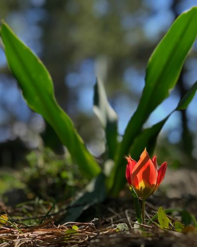 Tulip Plant Flower Flowering Plant Growth Beauty In Nature Vulnerability  Fragility Close-up Freshness Nature Focus On Foreground Petal Day Plant Part Inflorescence Leaf Flower Head Red No People Sunlight