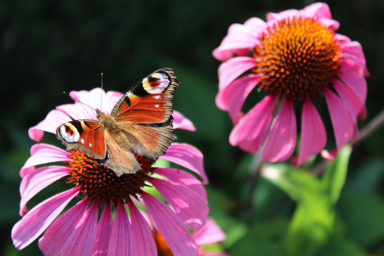 High Angle View Of Butterfly On Eastern Purple Coneflower