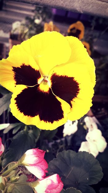 Pansy Flowers Repix