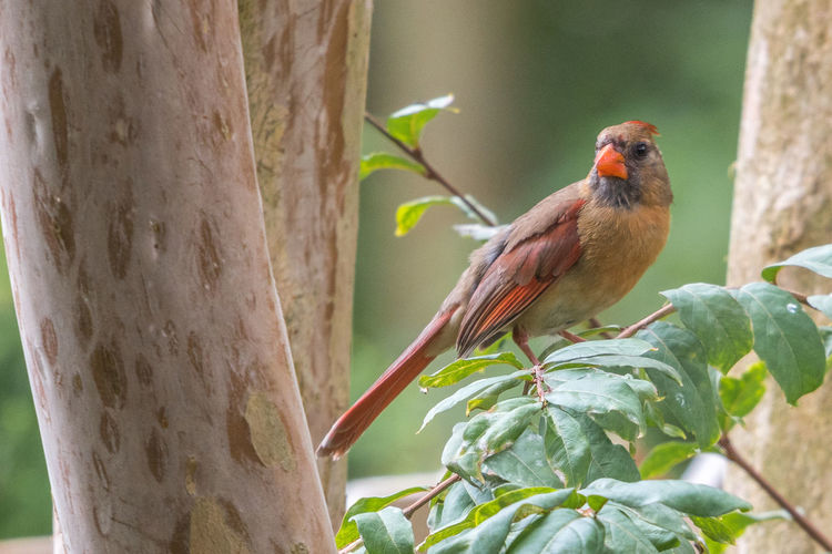 Female Northern Cardinal Cardinal Northern Cardinal Animal Animal Themes Animal Wildlife Animals In The Wild Avian Bird Branch Cardinal - Bird Day Female Focus On Foreground Green Color Leaf Nature No People Northern One Animal Outdoors Perching Plant Plant Part Tree Vertebrate