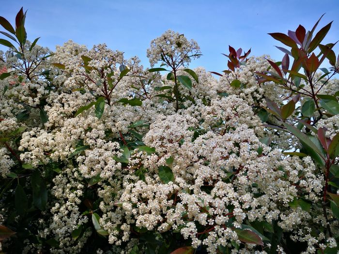 Photinia red Robin full bloom Photinia Photinia Red Robin Photonia Leaves Photinia Blossoms Flower Tree Flower Head Springtime Blossom Branch Sky Close-up Plant In Bloom Plant Life Stamen Pistil Day Lily Hibiscus Botany Pollen Blooming Osteospermum Petal Single Flower