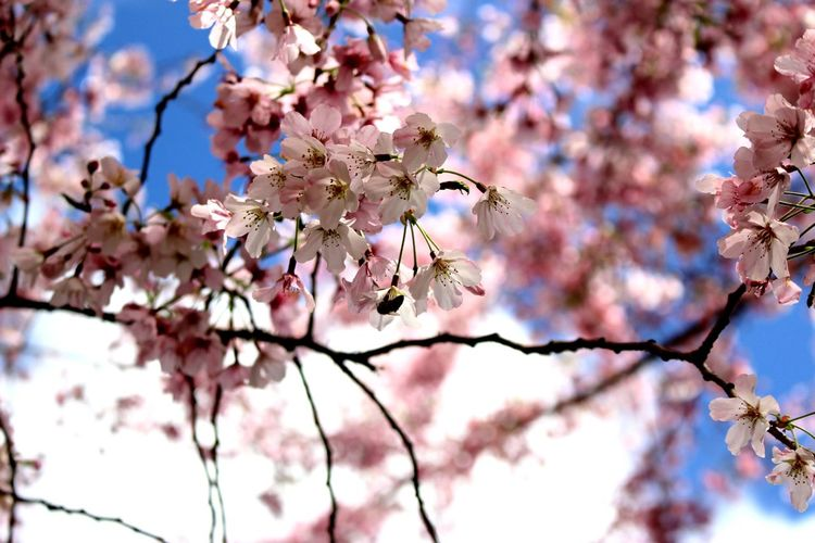 Sakura with the busy bee Beauty In Nature Busybee Cherry Blossom Close-up Flower Freshness In Bloom Low Angle View Pink Color Pollen Springtime Tree