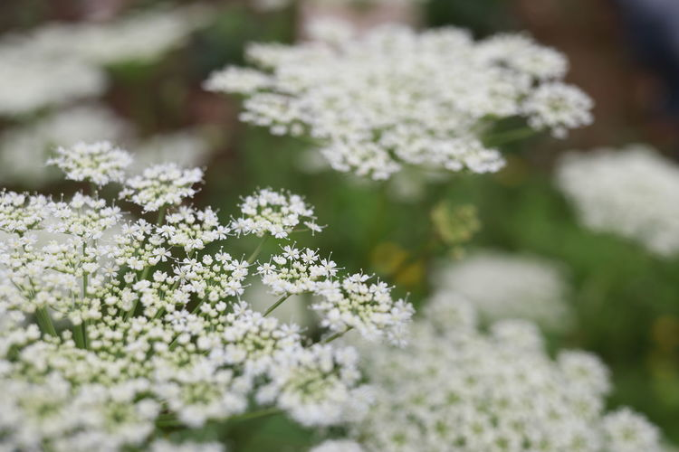 Close-up of white flowering plant in park