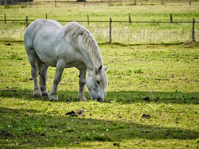 Mammal Animal Animal Themes Livestock Domestic Animals Field Grass Vertebrate Agriculture Land One Animal Plant Domestic Grazing Animal Wildlife Horse Nature Day No People Pets