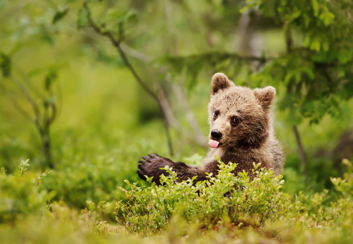 Brown bear cub sticking out the tongue in the boreal forest, Finland. Funny animals. Baby Bear Bear EyeEmNewHere FUNNY ANIMALS Animal Animal Themes Animal Wildlife Animals Animals In The Wild Bear Bear Cub Brown Bear Close-up Cub Cute Forest Funny Faces Funny Pics Mammal Nature No People Outdoors Portrait Teddy Bear Tongue