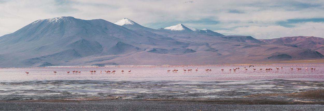 It's amazing to see the flamingos in their natural, unreal habitat. The lake is really shallow and they can get the shrimps out of there. Animals In The Wild Flamingo Panorama Salt Tranquility Travel Uyuni Adventure Altiplano Animal Themes Bird Cloud - Sky Day Laguna Colorada Lake Landscape Mountain Mountain Range Outdoors Salt Flat Scenics Snowcapped Mountain Travel Destinations Water Wildlife Go Higher