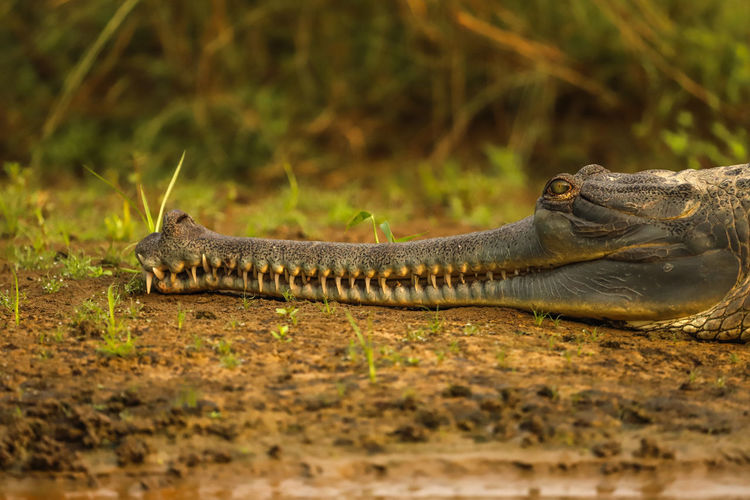 Gaviale Animal Wildlife Animals In The Wild Chitwan Nepal Coccodrillo Nella Doccia Gavial Nature One Animal Reptile