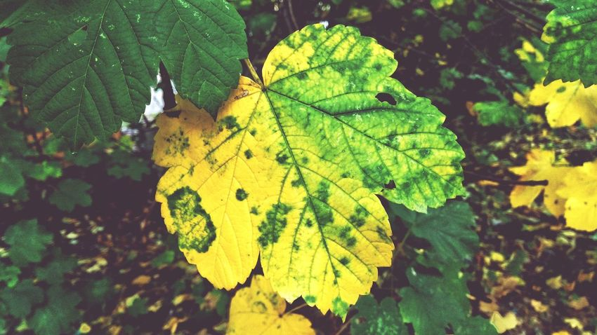 I will fall soon Autmn Sedness The Colors Of Autmn Autmn Colors Autumn Leafs Leaf 🍂 Leaf Fantasy Leafmania Green Yelow
