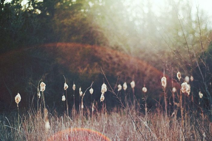 Nature No People Outdoors cattails, sunset, sunflare Plant Beauty In Nature Grasses And Sun Grass Sunlight Cattail