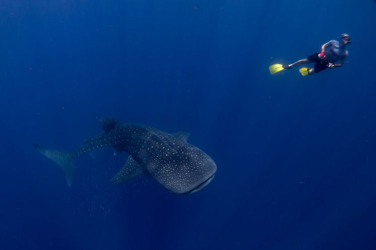 Person Snorkeling By Whale Shark In Sea
