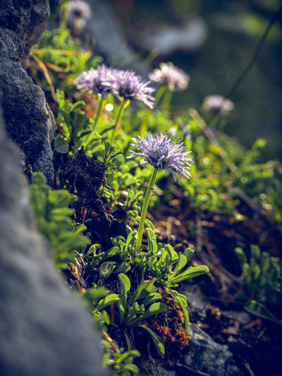 The nacked stemed ballflower (Globularia nudicaulis) belongs to the genus of spherical flowers (Globularia), which in turn belong to the family Plantain Family (Plantaginaceae). The plant grows between 5 and 25 cm high. As the name implies, the stem of the flower is naked, so it has no leaves. These grow only at the foot of the plant and grow to about 5 to 12 cm long. The blue-violet, globally spherical flowers are best seen in the period from May to July, the main flowering period of this plant. Because of its beautiful flower this alpine flower is also often found in rockeries Germany Hirschberg Tergernsee Ballflower Growth Plant Flower Selective Focus Beauty In Nature Flowering Plant Close-up Nature Fragility Vulnerability  Land No People Day Freshness Field Outdoors Green Color Flower Head Sunlight Plant Part Purple Globularia Nudicaulis Nacktstängelige Kugelblume