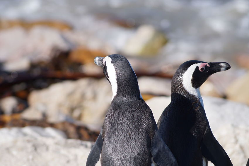 Stony Point near Cape Town, South Africa Tiere Animal Themes Animal Wildlife Animals Animals In The Wild Beak Beauty In Nature Bird Close-up Day Focus On Foreground Nature No People One Animal Outdoors Penguin Pinguine