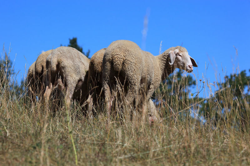 Grazing Sheep Pasture Animal Animal Themes Animal Wildlife Animals In The Wild Day Domestic Domestic Animals Field Grass Group Of Animals Growth Herbivorous Land Livestock Mammal Nature No People Outdoors Paddock Pets Plant Sheep Sheeps Sky Vertebrate