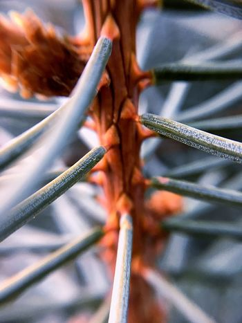 Pine Pine Tree Tree Silver  Close-up Macro Macro Photography Village Winter Sharp Stinging Lines Pine Leaves Leaves🌿 Nature IPhone IPhoneography IPhone SE Macro Lens Beautiful Close Up