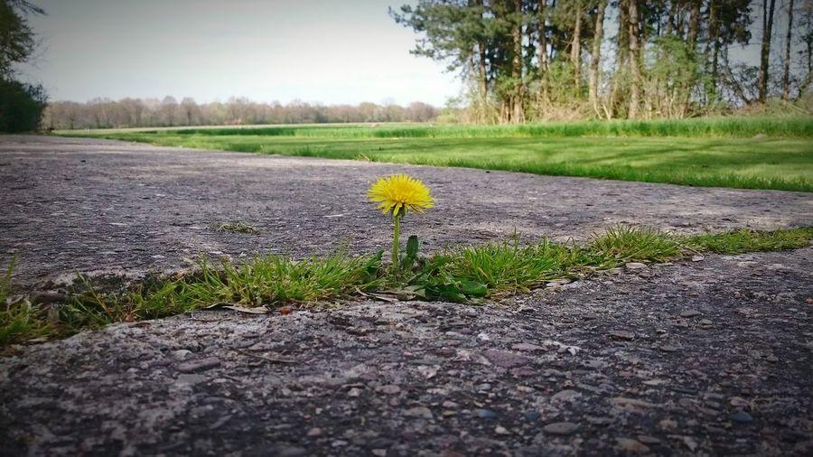 löwenzahn dandelion Enjoying Life Flower Löwenzahn