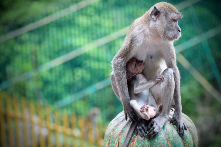 Baby Monkey Batu Caves Caring Eating Feeding Animals Feeding Time Mother Nature Travel Destinations Travel Photography Wildlife Wildlife & Nature