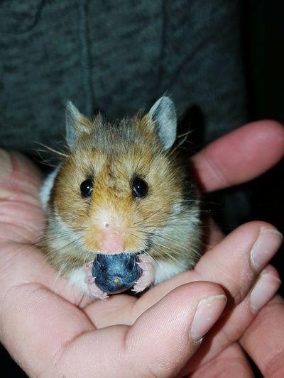 Ms. Murtle Hamster Blueberry Holding Furry Friend Little Lady
