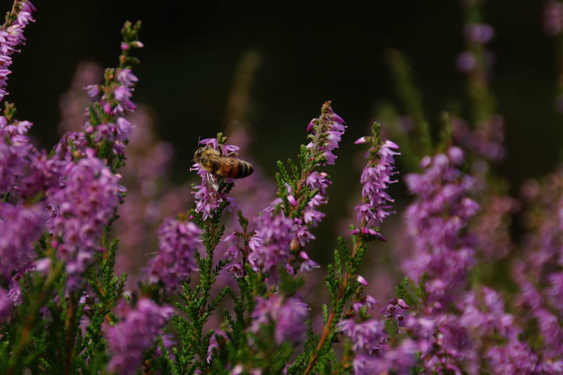 Honeybee on