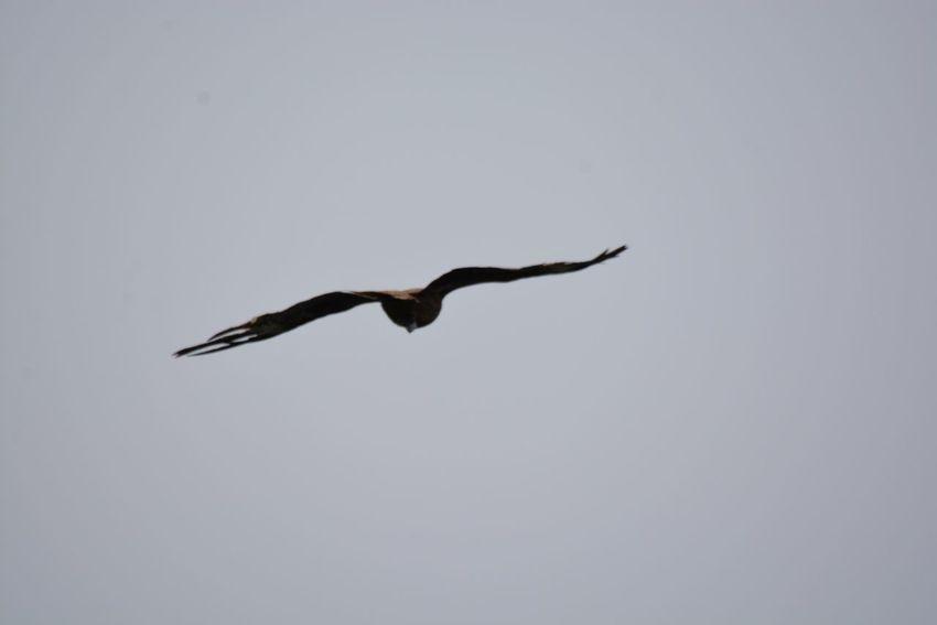 Bird Animal Wildlife Vertebrate Animal Themes Animals In The Wild Flying One Animal