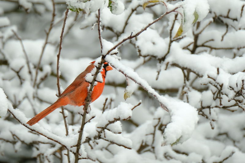 Red cardinal in