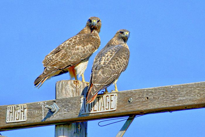Power couple... Check This Out Highvoltage Redtailhawk Eye4photography  Birdsofprey Showcase: February
