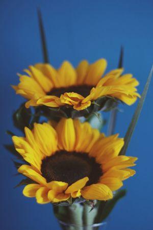 Flower Girassol Blue Yellow