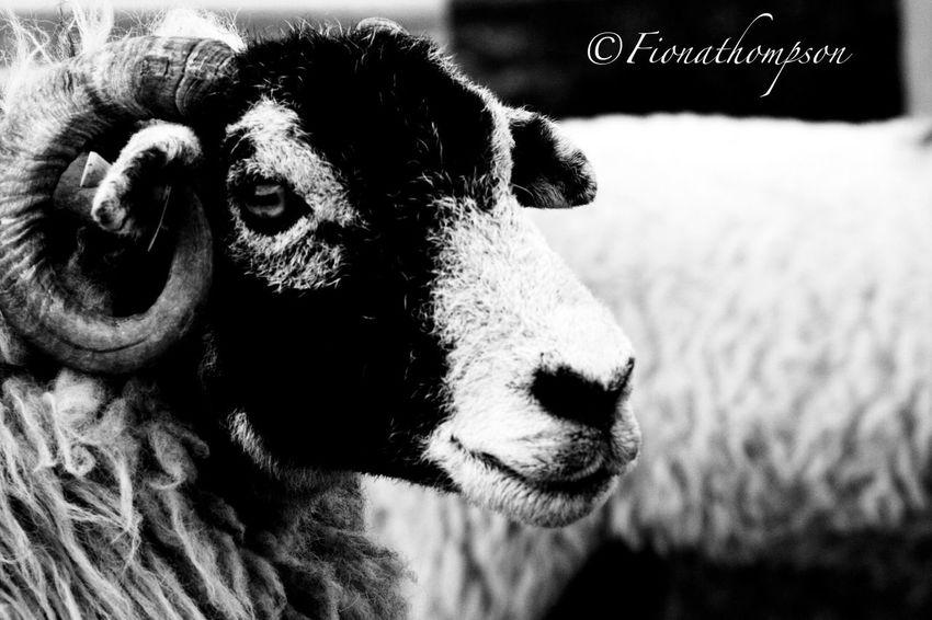 Sheep Down On The Farm Ovine