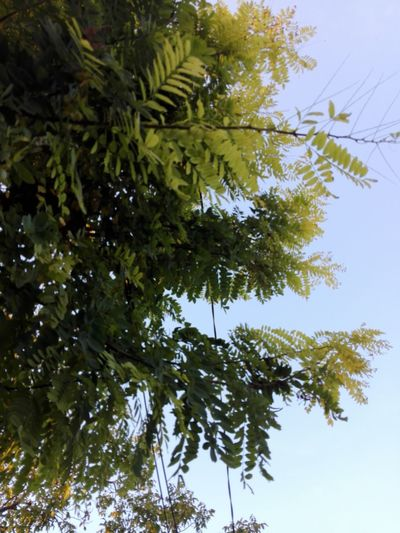 No People Tree Nature Low Angle View Acacia Tree Acacia Acacia Branches Acacia Leaves Acacia Leaf WOLFZUACHiV Photography Huawei Photography On Market WOLFZUACHiV Photos Wolfzuachiv Veronica Ionita Ionita Veronica Eyeem Market Huaweiphotography Leaf Green Color Growth Day Outdoors Sky