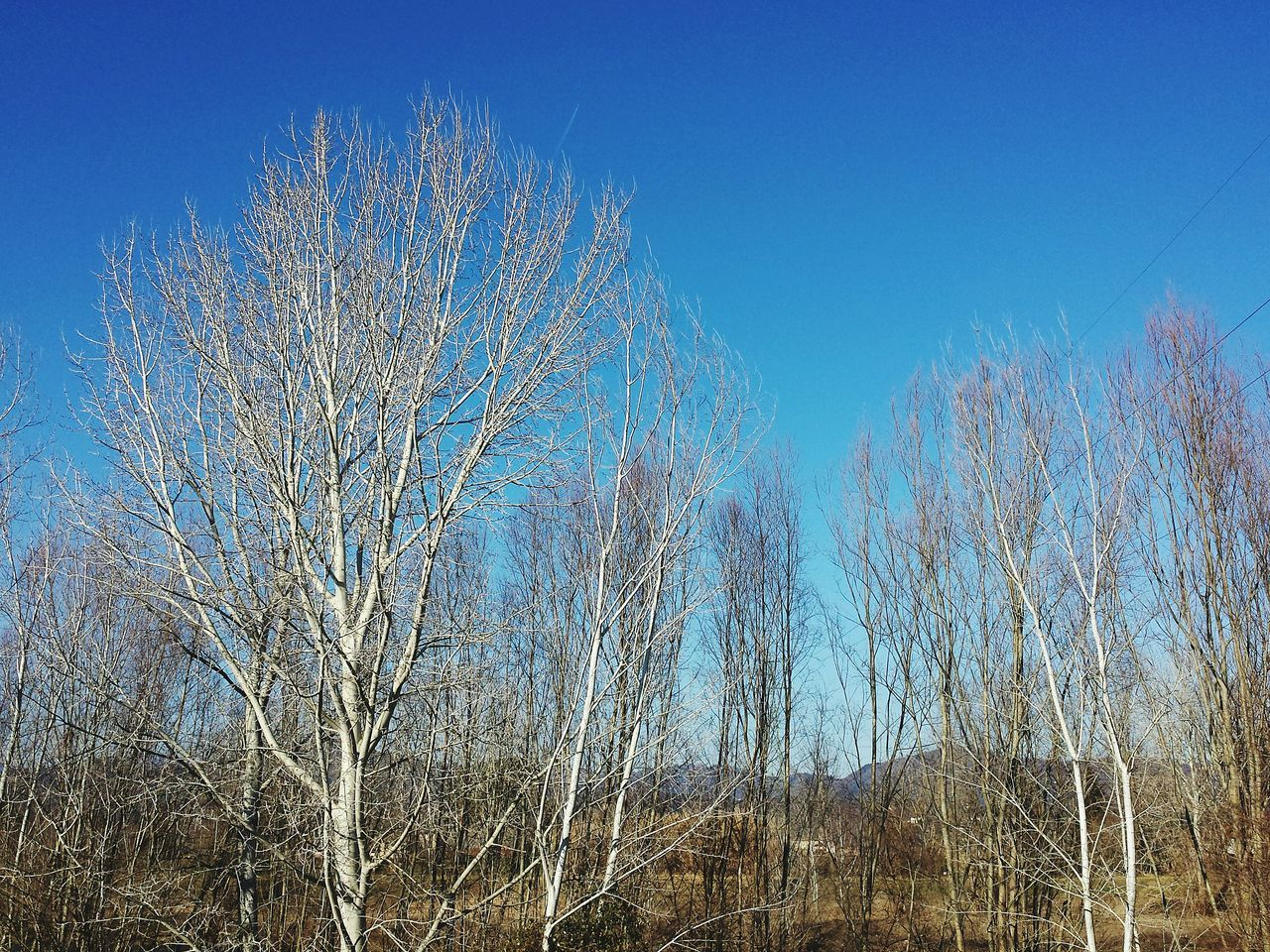 bare tree, blue, nature, tranquility, no people, clear sky, tranquil scene, outdoors, beauty in nature, tree, day, growth, forest, plant, branch, sky