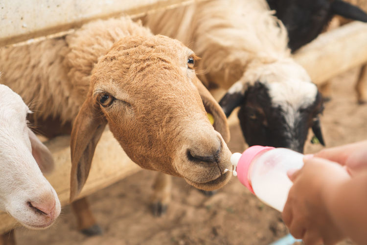 Close-up of hand feeding milk to sheep