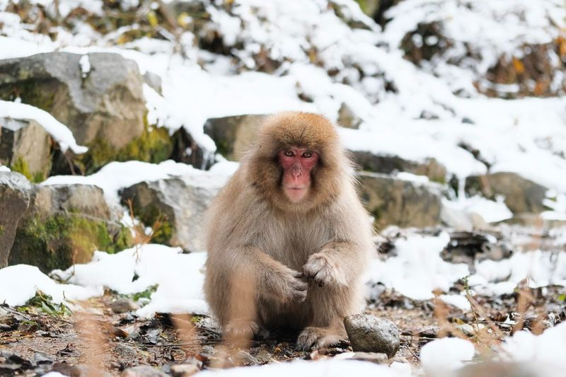 Monkey Business (13) Snow Monkey Japan Animal Themes Animal Mammal Cold Temperature Animals In The Wild Animal Wildlife Monkey Looking At Camera Japanese Macaque No People Portrait Primate Vertebrate Nature Winter Snow