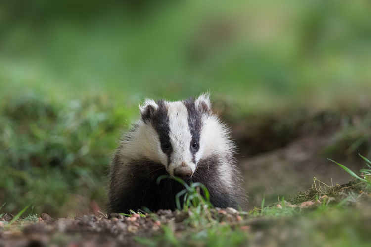 Close-up of badger on grass