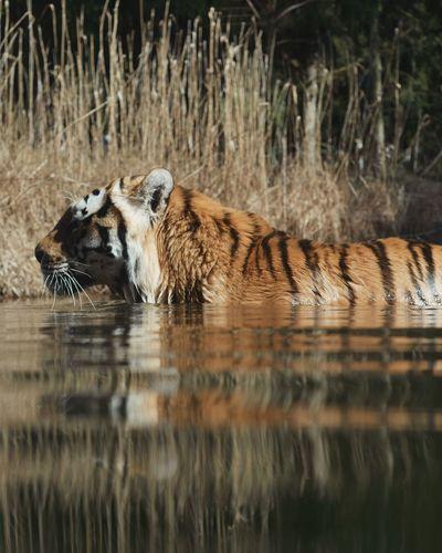 Tiger water