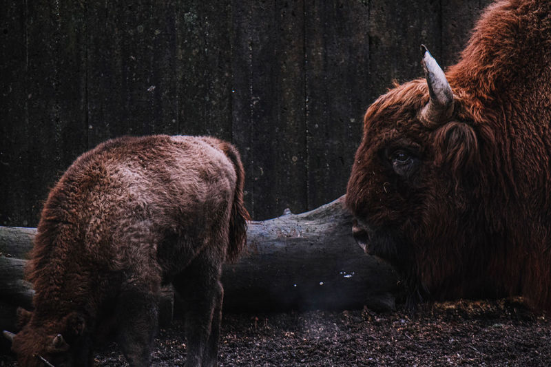 Close-up of bison on land