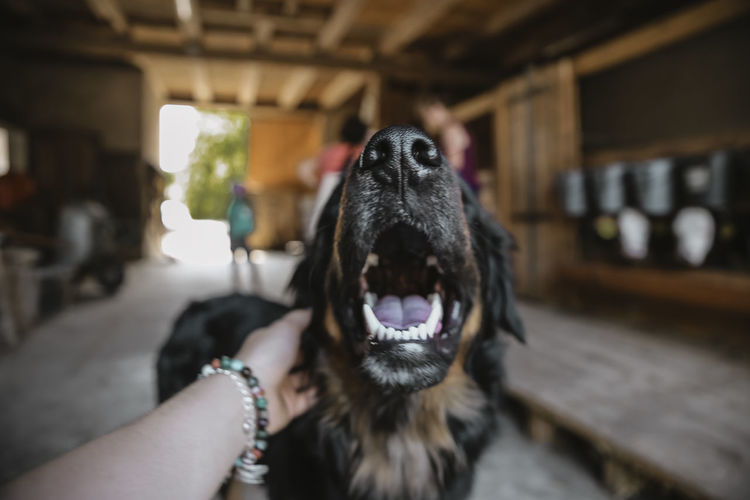// farmer dog // Animal Mouth Animal Tongue Canine Close-up Dog Domestic Domestic Animals Focus On Foreground Hand Human Body Part Human Hand Indoors  Mammal Mouth Mouth Open One Animal One Person Pet Owner Pets Real People Vertebrate