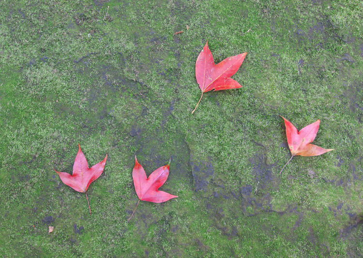 High angle view of red maple leaves on grass